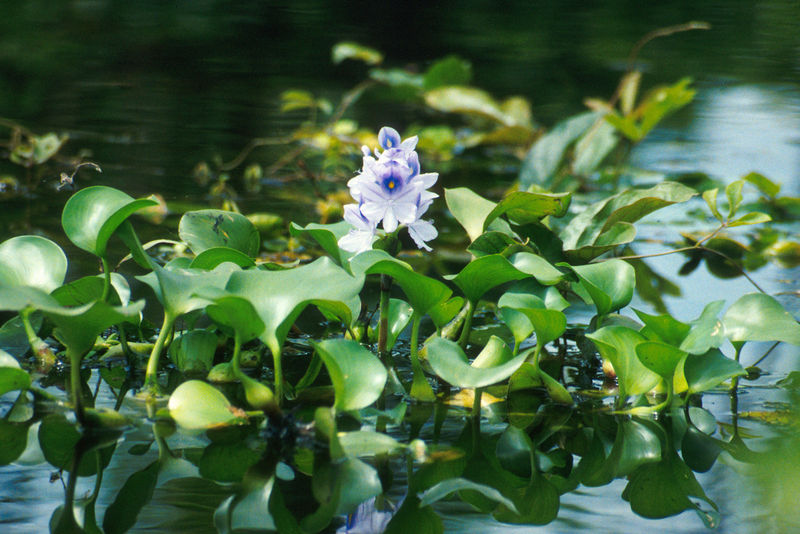 nolisoli be fixture pasig river water hyacinth