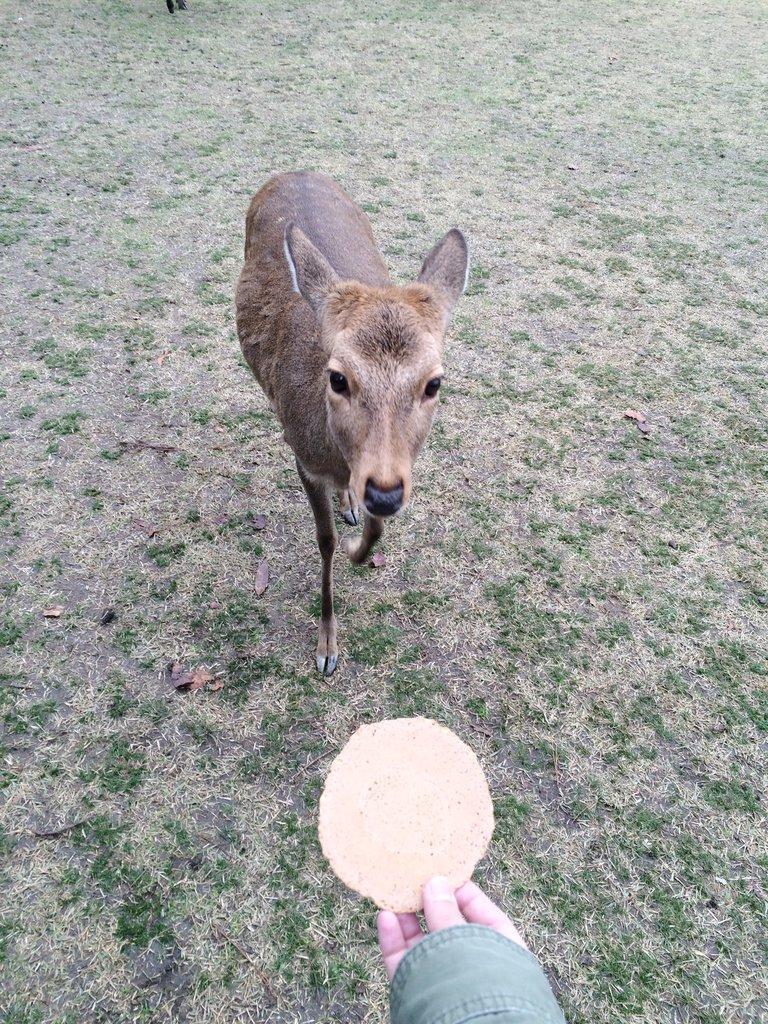 nolisoli fixture nara deer