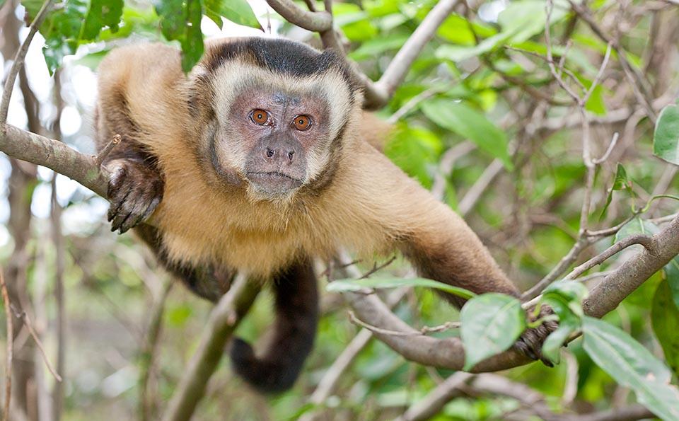 Brown Tufted Capuchin monkey.