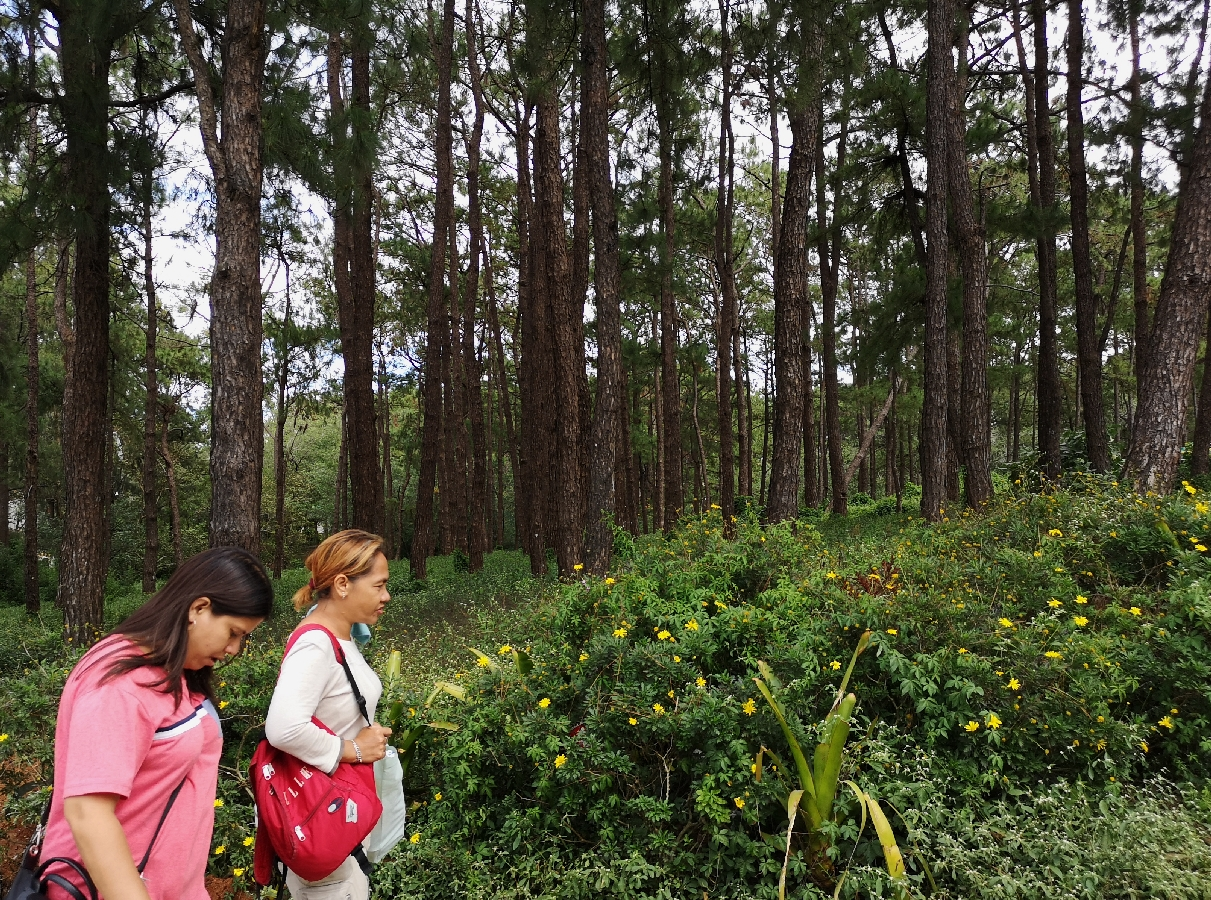 baguio city forest pine tree park